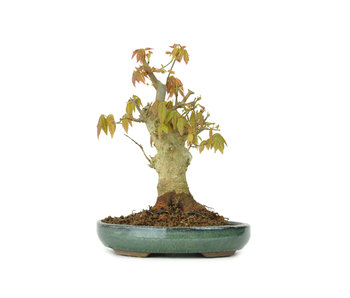 Trident maple, 15 cm, ± 15 years old