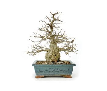 Carpino coreano, 31 cm, ± 60 anni