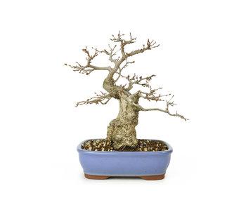 Carpino coreano, 21 cm, ± 50 anni