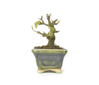 Trident maple, 6 cm, ± 8 years old