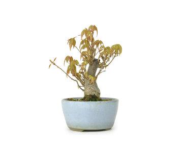 Acero tridente, 12 cm, ± 8 anni