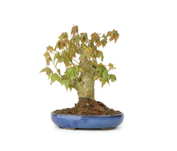 Trident maple, 16 cm, ± 15 years old