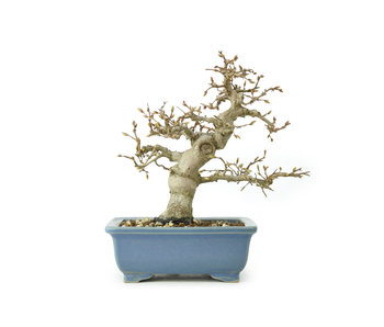 Carpino coreano, 17 cm, ± 25 anni