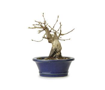 Carpino coreano, 11 cm, ± 15 anni