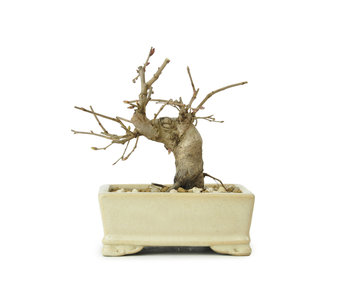 Carpino coreano, 10,3 cm, ± 15 anni