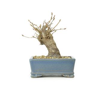 Carpino coreano, 10,2 cm, ± 15 anni