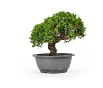 Chinese Juniper (Itoigawa), 19 cm, ± 12 years old