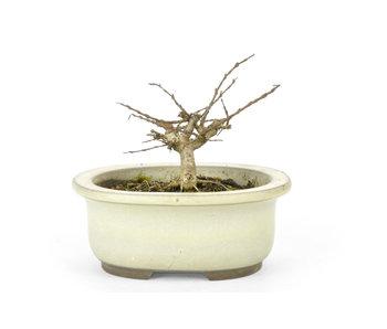Lagerstroemeria indica (Saruseberi), 7 cm, ± 10 anni