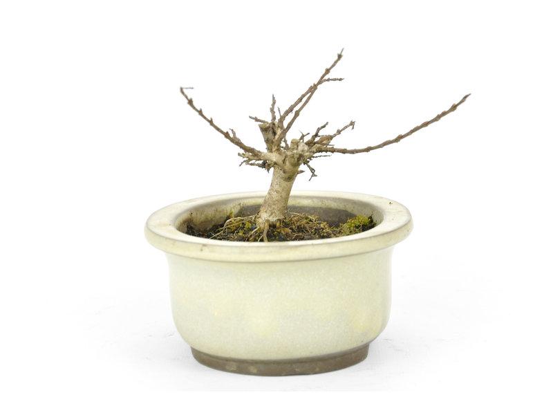 Lagerstroemeria indica (Saruseberi), 7 cm, ± 10 jaar oud