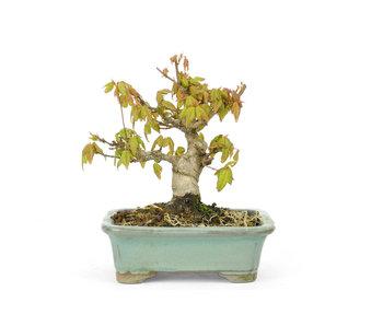 Acero tridente, 11 cm, ± 15 anni