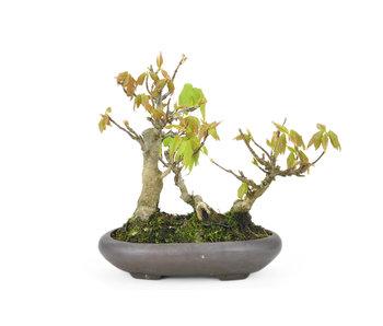 Acero tridente, 12 cm, ± 20 anni