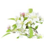 Japanse krabappel, 20 cm, ± 8 jaar oud met roze tot witte bloemen
