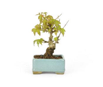 Acero tridente, 11 cm, ± 12 anni