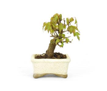 Acero tridente, 9 cm, ± 12 anni