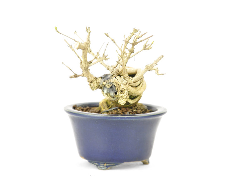 Stinkacer (Nioi Kaede), 9,5 cm, ± 15 jaar oud in een handgemaakte Chinese pot