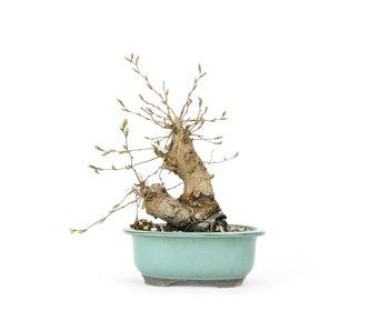 Carpino coreano, 20 cm, ± 25 anni