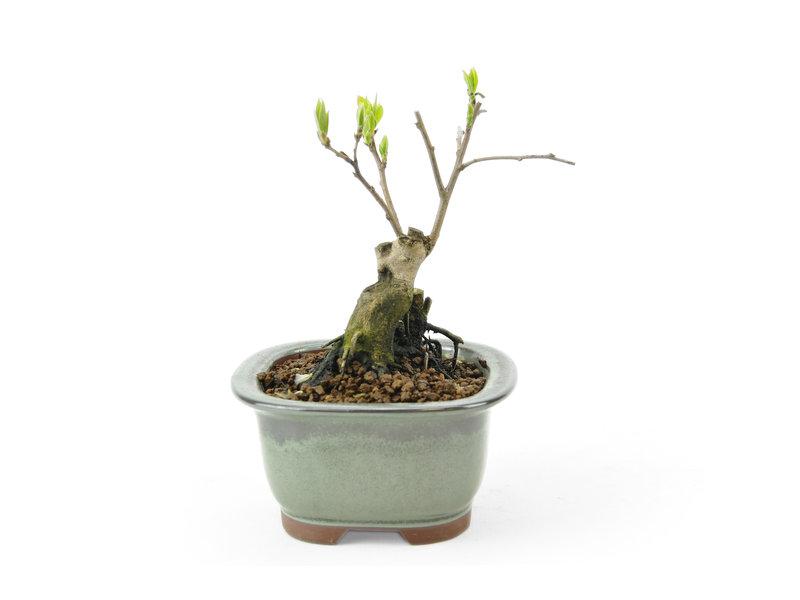 Kakiboom, 10 cm, ± 15 jaar oud