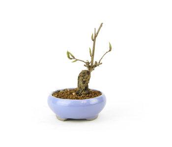 Kaki Fruit / Persimom, 10,1 cm, ± 15 años
