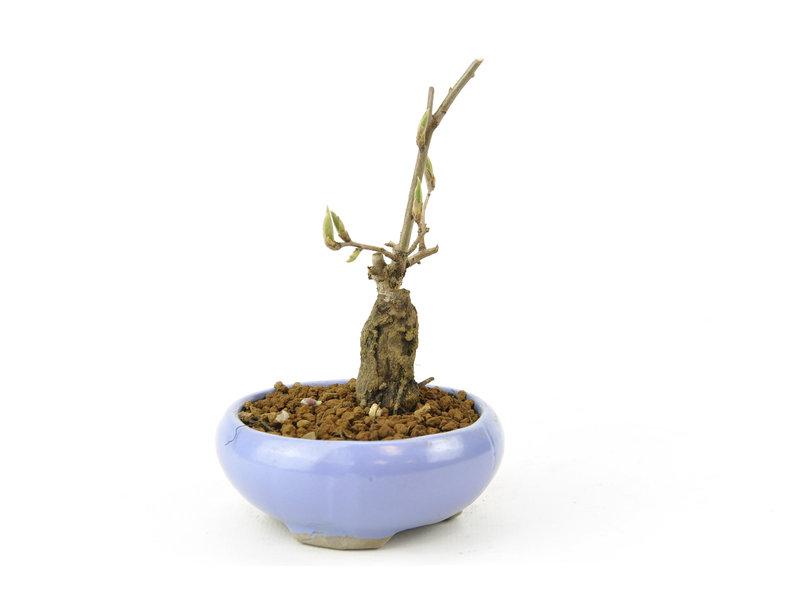 Kakiboom, 10,1 cm, ± 15 jaar oud
