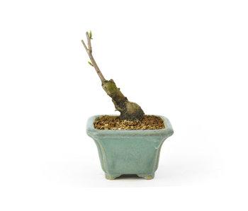 Kaki Fruit / Persimom, 10 cm, ± 15 años