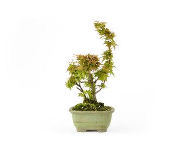 Acero giapponese (Shishikashira), 13 cm, ± 20 anni
