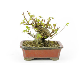 Trident maple, 10 cm, ± 18 years old