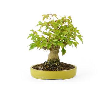 Acero tridente, 15 cm, ± 20 anni