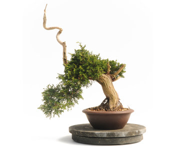 Chinese juniper (Itoigawa), 44 cm, ± 25 years old