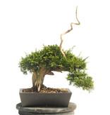 Chinese jeneverbes (Itoigawa), 43 cm, ± 25 jaar oud