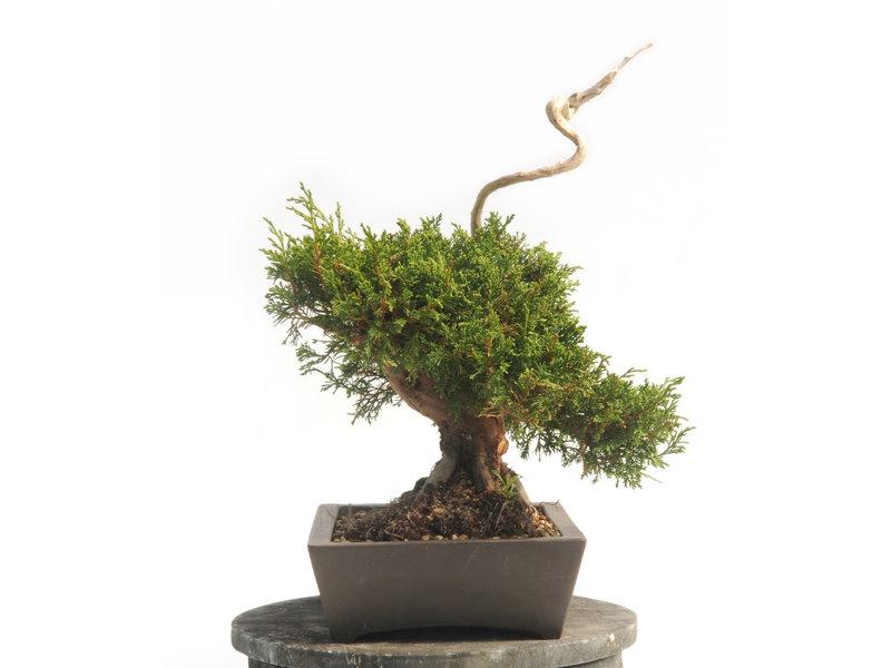 Chinese jeneverbes (Itoigawa), 37 cm, ± 25 jaar oud