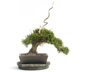 Chinese juniper (Itoigawa), 48 cm, ± 25 years old