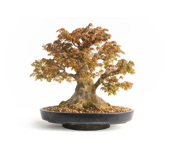 Trident maple, 48 cm, ± 45 years old