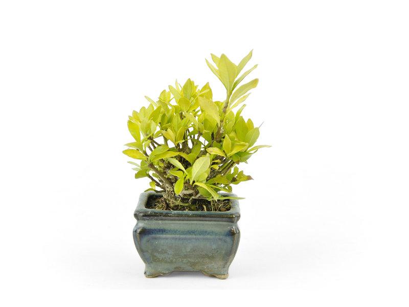 Kaapse jasmijn, 7 cm, ± 12 jaar oud