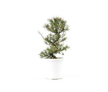 Rock cotoneaster, 20,4 cm, ± 8 years old