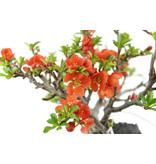 Bloeiende kweepeer (C. Lagena (Chojubai)), 15 cm, ± 35 jaar oud met prachtige rode bloemen op een rots van 70 x 70 x 80 mm