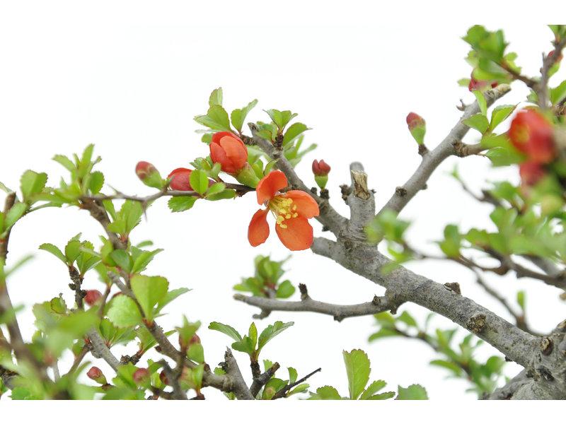 Bloeiende kweepeer (C. Lagena (Chojubai)), 13 cm, ± 35 jaar oud met prachtige rode bloemen op een rots van 70 x 80 x 60 mm