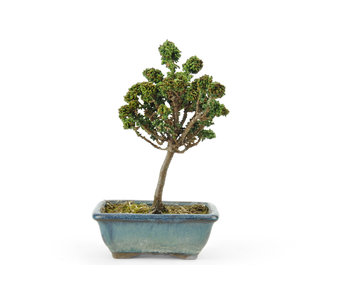 Japanese cypress (Sekka Hinoki), 15,1 cm, ± 8 years old