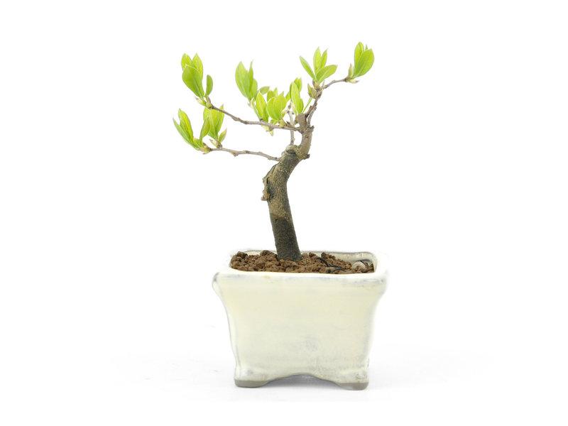 Kakiboom, 8 cm, ± 8 jaar oud