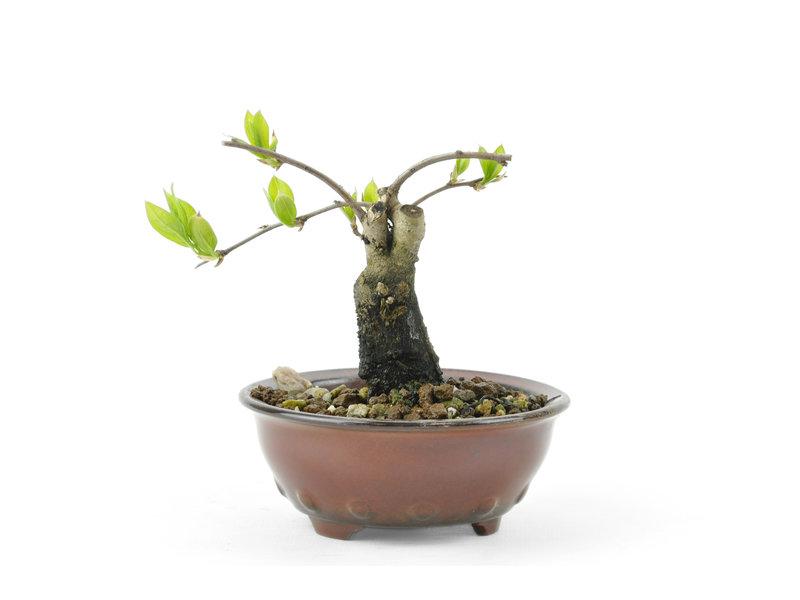 Kakiboom, 7,9 cm, ± 8 jaar oud