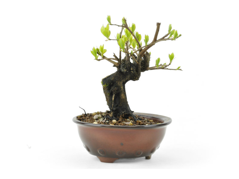 Kakiboom, 9,9 cm, ± 8 jaar oud