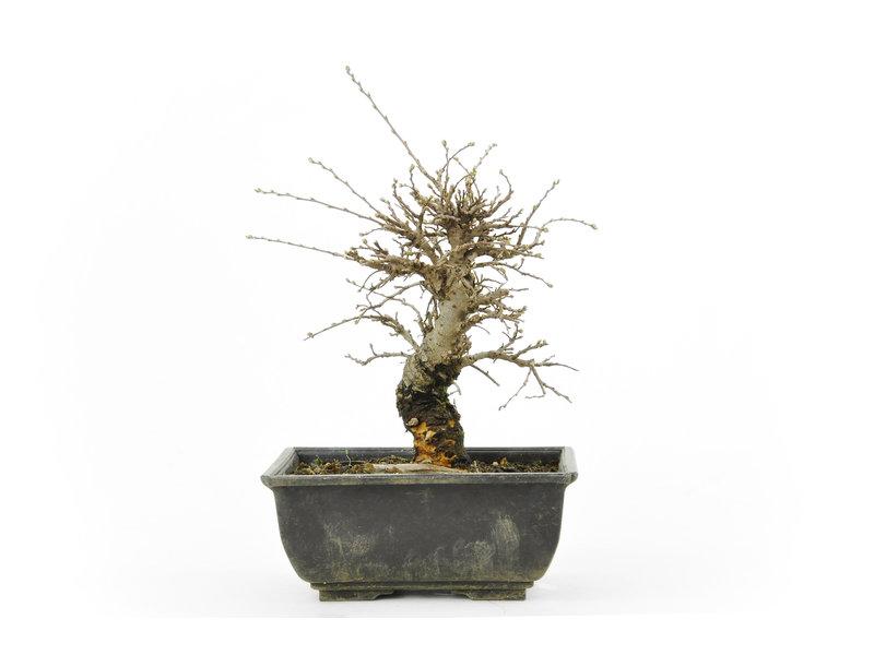 Chinese lep, kleinbladerig met kurk, 16,9 cm, ± 8 jaar oud