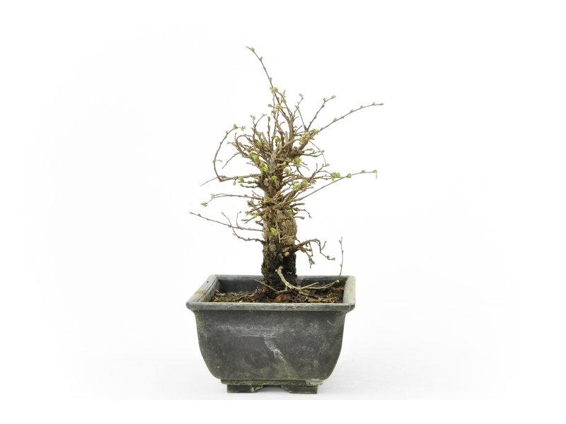 Chinese lep, kleinbladerig met kurk, 17 cm, ± 8 jaar oud