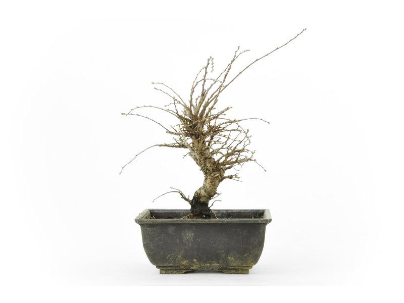 Chinese lep, kleinbladerig met kurk, 17,5 cm, ± 8 jaar oud