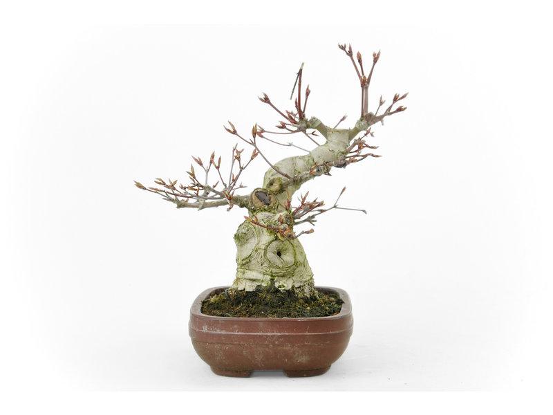 Japanse esdoorn, 19 cm, ± 35 jaar oud