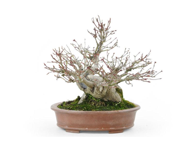 Japanse esdoorn, 18 cm, ± 35 jaar oud