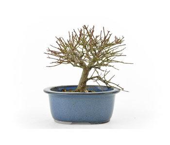 Albero mandrino, 11 cm, ± 20 anni