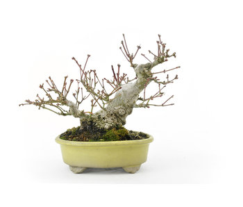 Acero giapponese, 15 cm, ± 30 anni