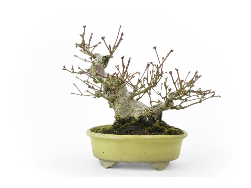 Japanese maple, 15 cm, ± 30 years old