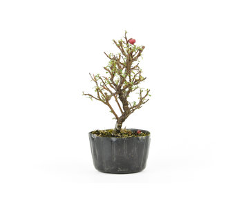 Rock cotoneaster, 16 cm, ± 5 years old
