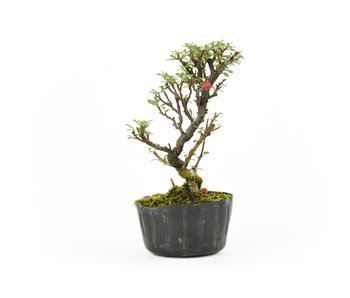 Rock cotoneaster, 16,1 cm, ± 5 years old